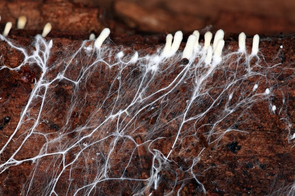 Close up of mold hyphae and mycelium