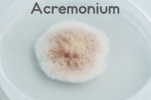 Acremonium Mold