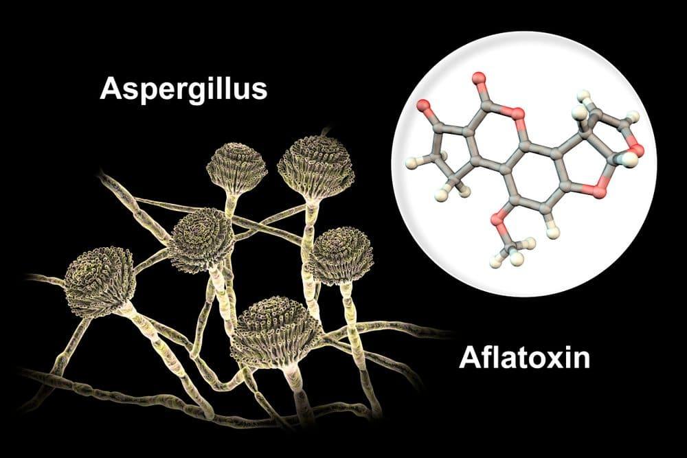 Aflatoxin Mycotoxin