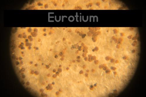 Eurotium Mold