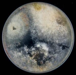 Fusarium Mold