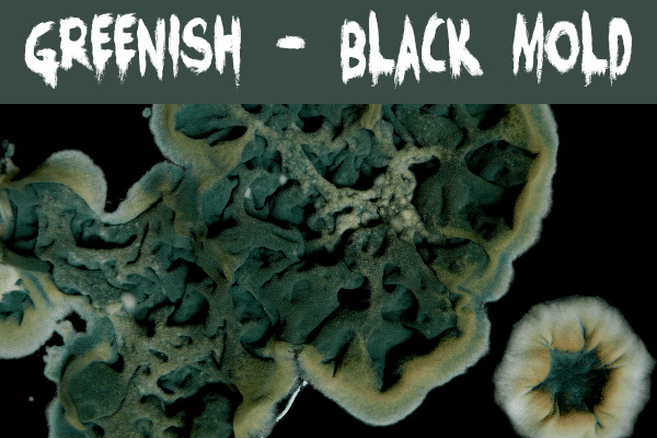 Greenish black mold