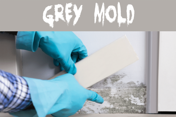 Gray mold on the wall