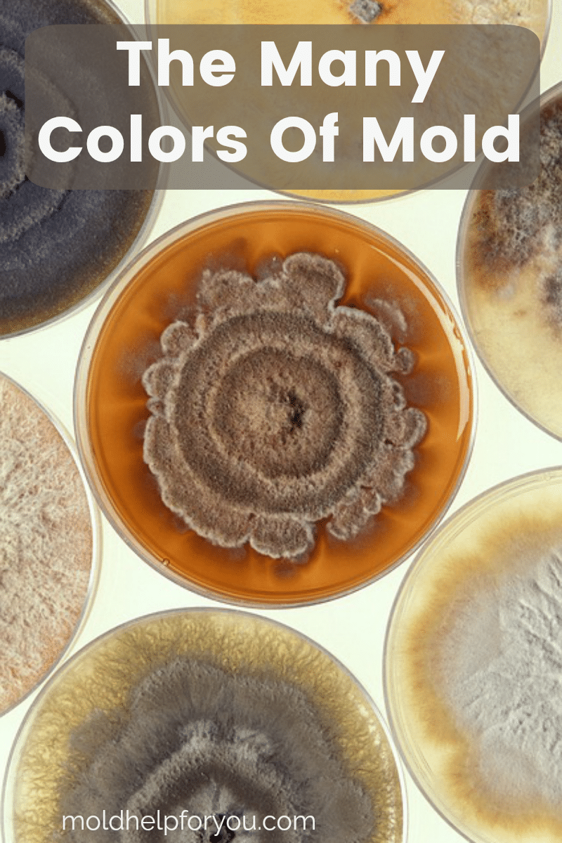 Petri Dishes with various colors of mold growing on them. Brown mold, yellow mold, gray mold, black mold, and white mold.