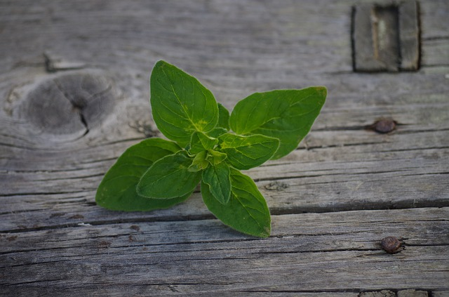 A sprig of oregano on a wood background