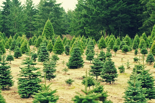 A Christmas Tree Farm where the trees are at risk for mold